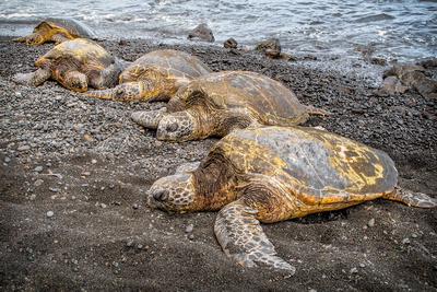 """Black Sand Breather"" - Punalu'u, Hawaii"