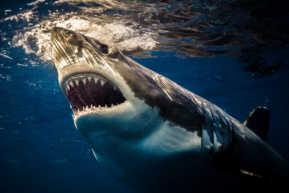"""Jaws"" - Isla Guadalupe, Mexico (Great White)"
