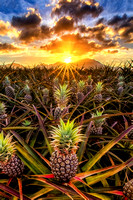 """Wahiawa Gold"" - Dole Pineapple Fields, Oahu"