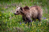 Grizzly Bear III