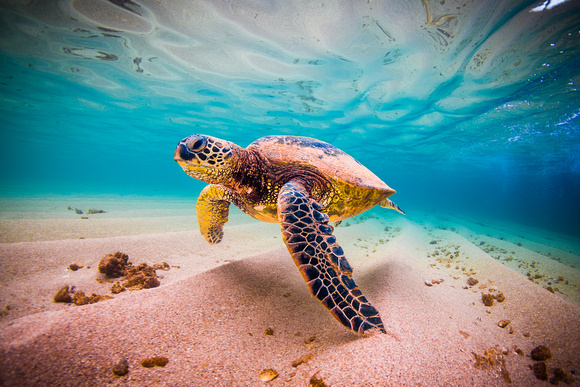 a research on the proper evaluation of the population recovery of green sea turtles in hawaii Age and growth of hawaiian green seaturtles (chelonia mydas): an analysis population of green sea turtles research 2570 dole st honolulu, hawaii.