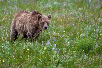 Grizzly Bear II